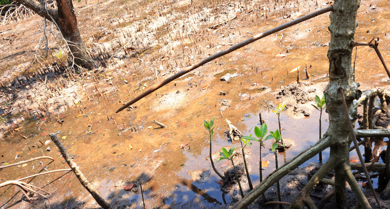 Day Growth High Angle View Leaf Mangroove Mangrooves Mangrove Mangrove Forest Mangrove Forests Mangrove Life Mangrove Plant Mangrove Root Mangrove Roots Mangrove Swamp Mangrove Tree Mangrove Trees Mangroveplant Mangroves Nature No People Outdoors Plant Sunlight Thailand Tree