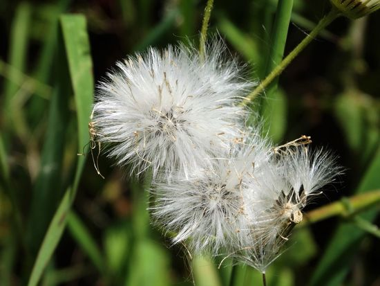 Beauty In Nature Close-up Dandelion Day Flower Flower Head Focus On Foreground Fragility Freshness Growth Nature No People Outdoors Plant Softness White Color