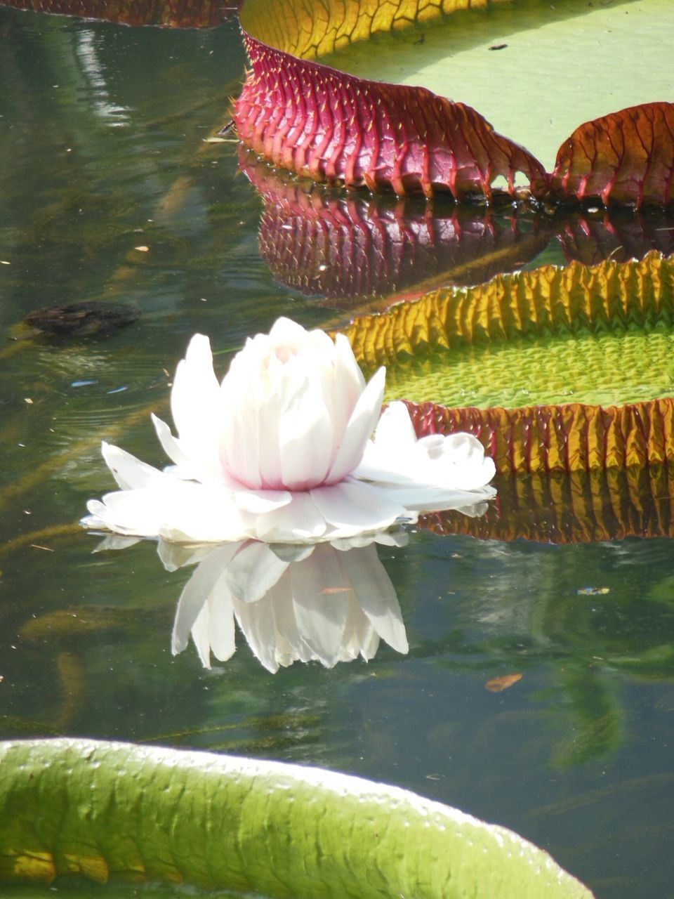 water, flower, beauty in nature, nature, lake, freshness, reflection, no people, fragility, floating on water, petal, waterfront, plant, water lily, outdoors, day, close-up, leaf, lotus water lily, lily pad, animal themes, flower head