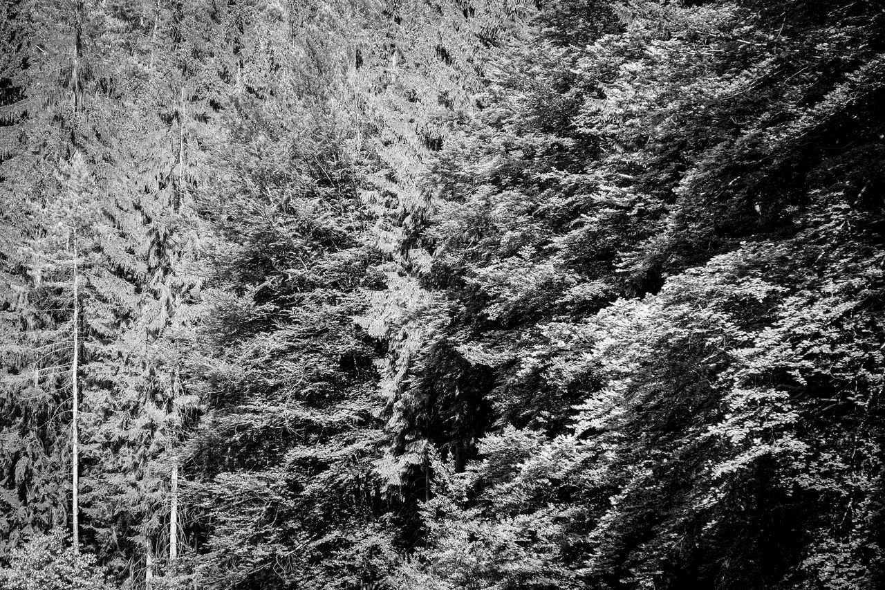 Beauty In Nature Branches Check This Out Exceptional Photographs EyeEm Best Shots - Black + White EyeEm Masterclass EyeEm Nature Lover FUJIFILM X-T1 Germany Hiking In The Forest In The Woods Monochromatic Monochrome Nature Outdoors Rathen Romantic Rustic Saxon Switzerland Saxony Scenery Sächsische Schweiz Sächsischeschweiz Tree