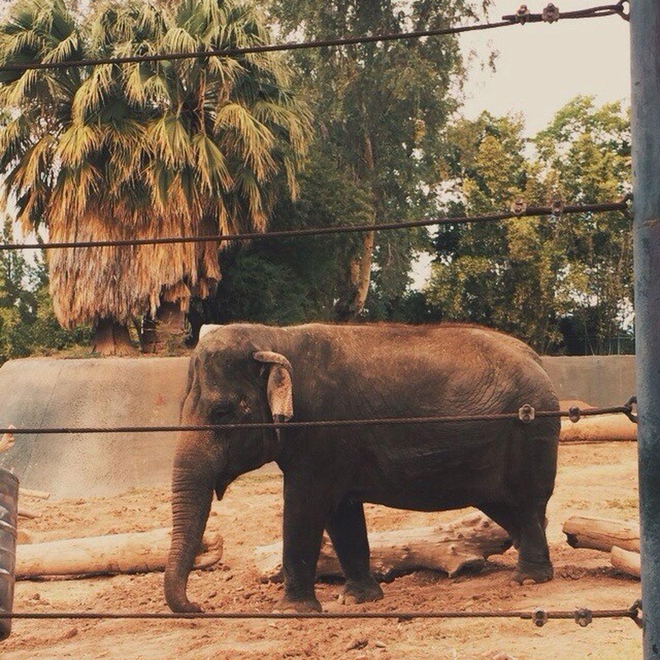 Vscocam VSCO Vscoarizona Arizona phxzoo zoo elephant phoenix