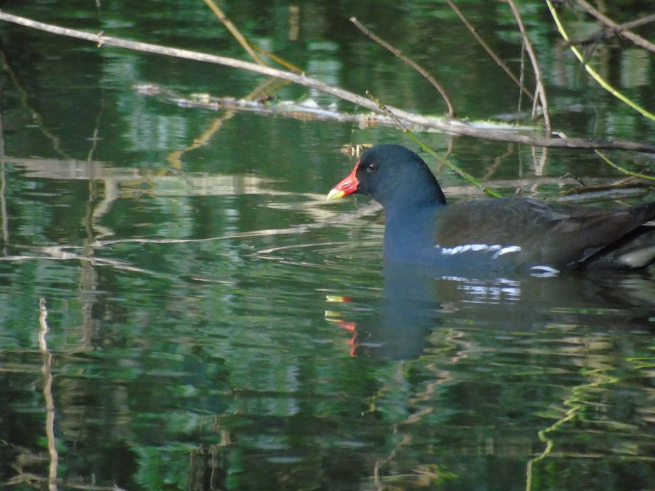Animal Themes Water One Animal Swimming Bird Beauty In Nature Nature On Your Doorstep River Bank View Moorhen