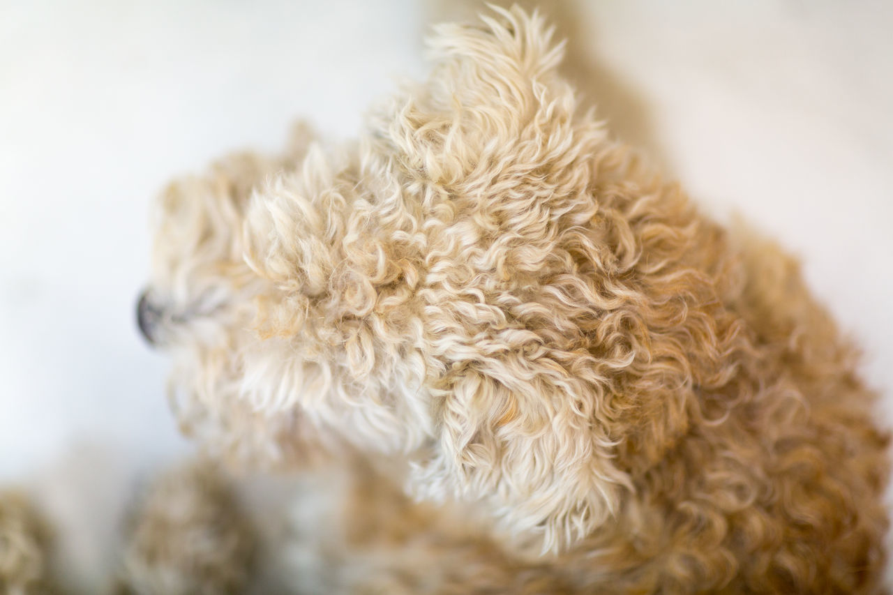 Animal Body Part Close-up Day Dog Dog Love Dog Portrait Domestic Animals Fur Golden Indoors  Lakeland Terrier Mammal Nature No People Pets Softness