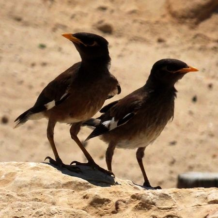 Which way? Common Mynah Acridotheres Tristis Bird Beach Sand No People