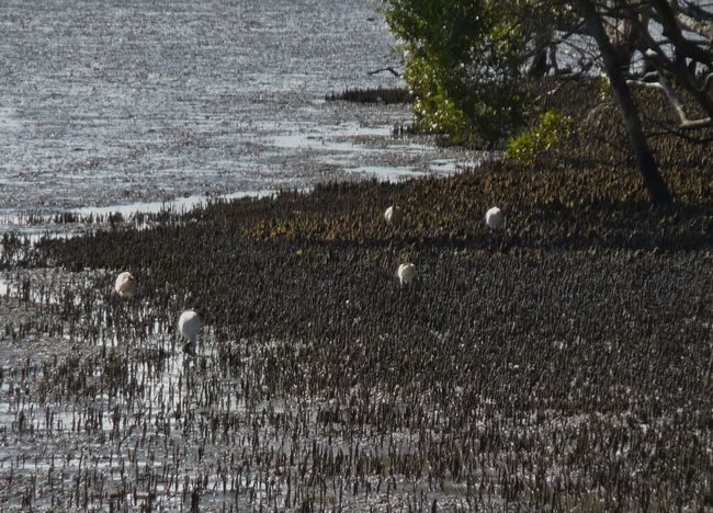Australia Bird Birds Looking For Food Deception Bay Waters Great Atmosphere Low Tight Nature No People Wetland Wildlife
