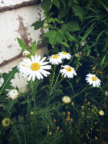 🌼🌼💕🤙📸 Daisy 🌼 Pretty Photography Loveit