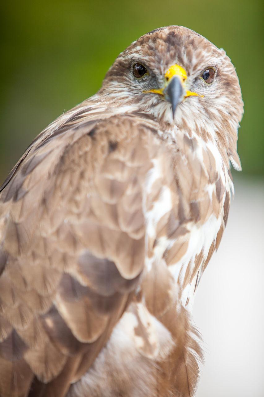 bird, one animal, animal themes, animals in the wild, animal wildlife, bird of prey, close-up, focus on foreground, no people, day, nature, beak, outdoors, perching