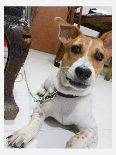 Pet Dog Love♥ Jackrussell