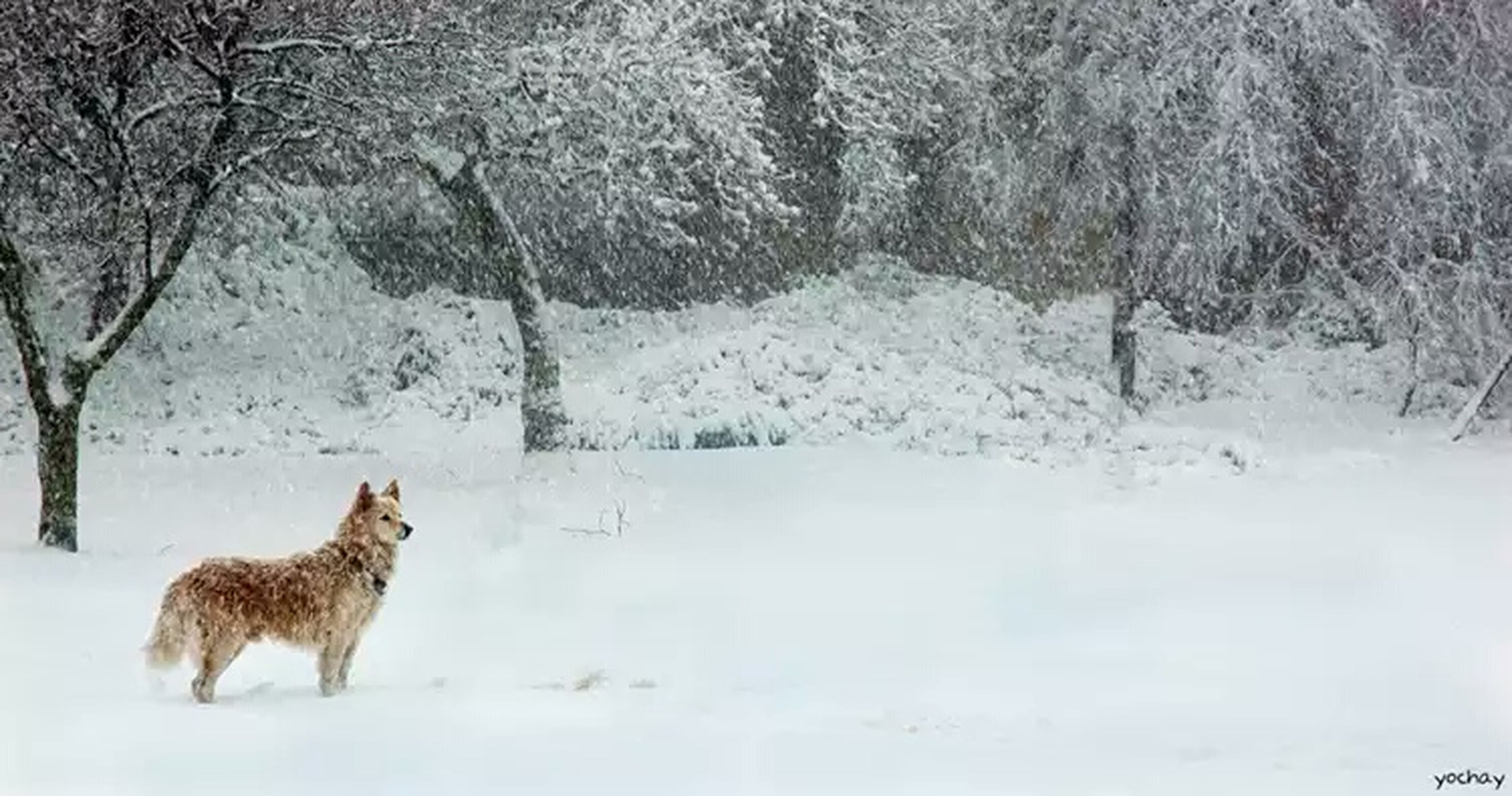 snow, winter, cold temperature, animal themes, mammal, domestic animals, one animal, season, weather, pets, white color, covering, dog, field, nature, tree, day, outdoors, frozen, no people