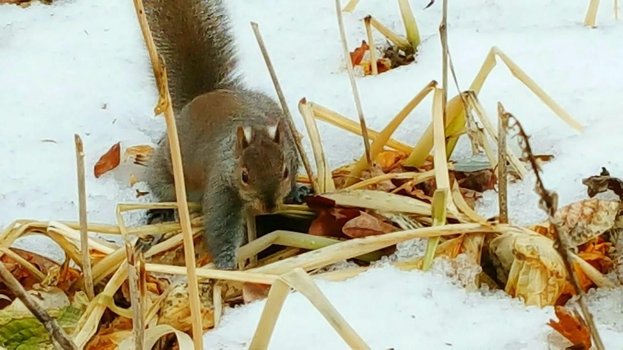 No People Animal Themes Day Close-up Nature Squirrel Winter Snow Plants Outdoors Dried Grass Nature_collection