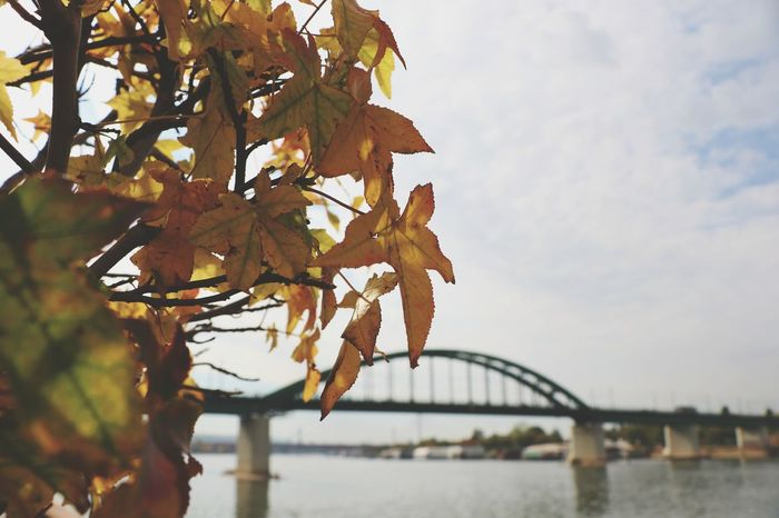 Autumn Leaf Branch Tree Nature Day Bridge - Man Made Structure Travel Destinations No People Outdoors Sky Growth