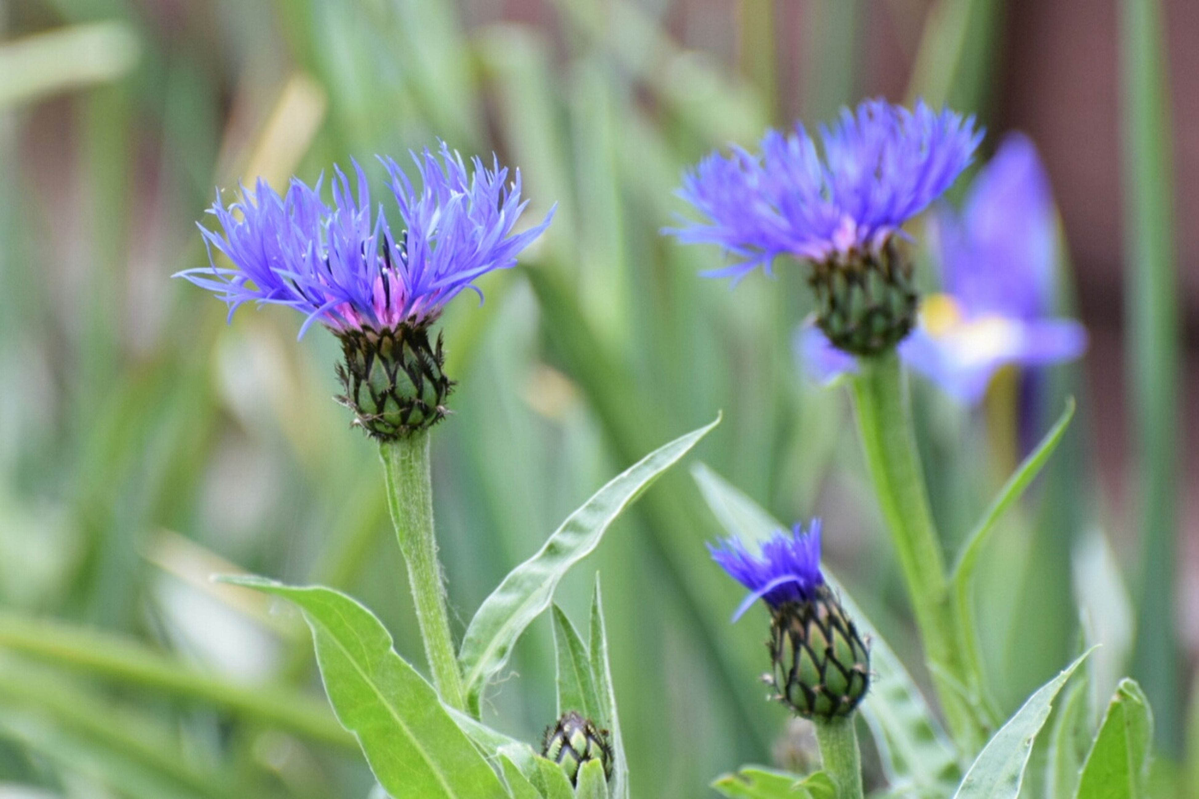 flower, freshness, purple, fragility, growth, petal, flower head, close-up, beauty in nature, plant, focus on foreground, nature, blooming, stem, leaf, in bloom, selective focus, day, outdoors, no people