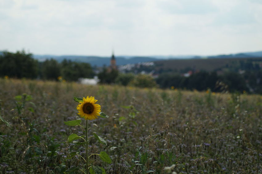 Church Kirche Mittelsachsen Day Field Flower Fokus On Foreground Growth Landscape Nature No People Oederan Sonnenblume Yellow