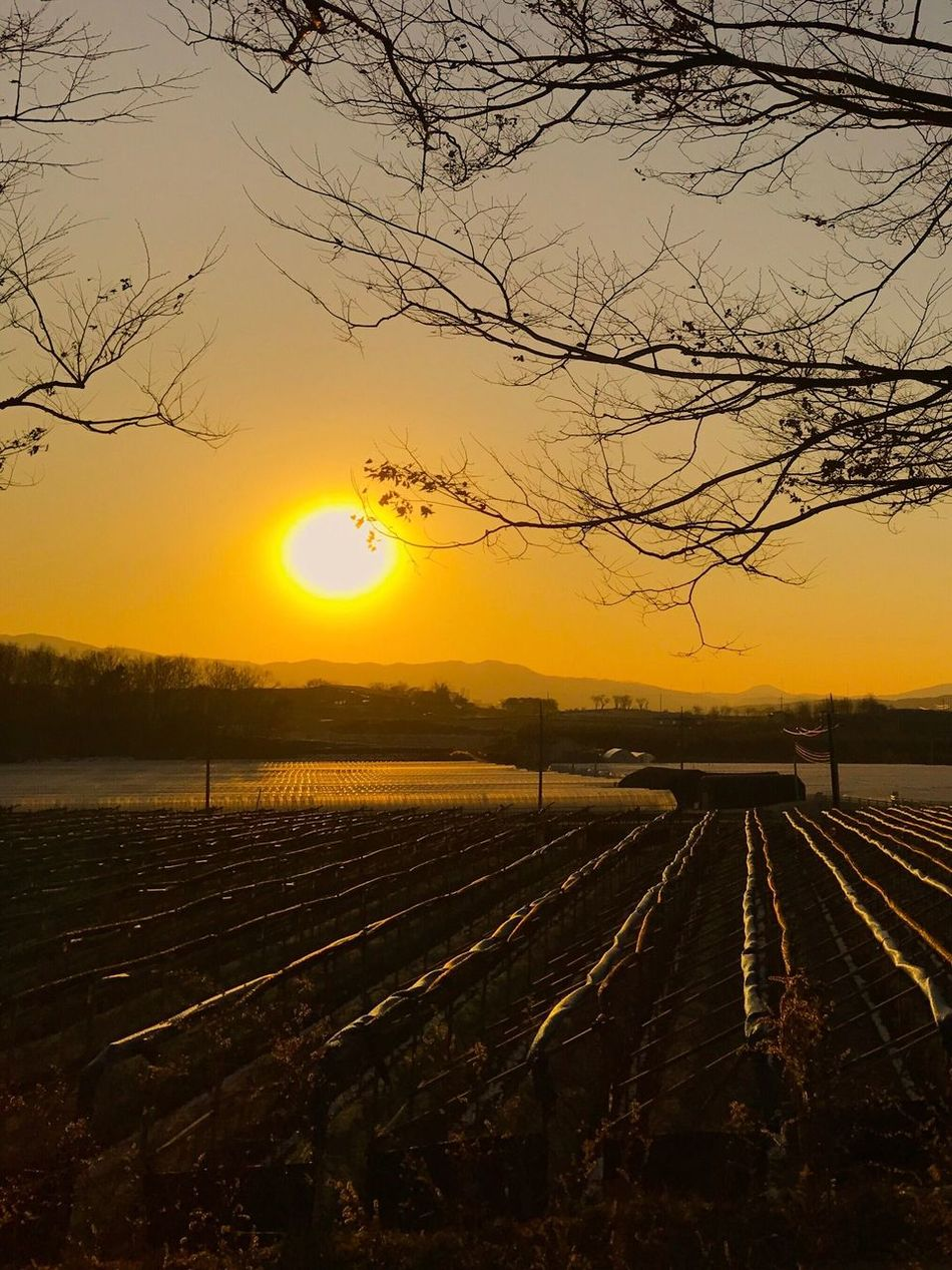 EyeEmNewHere Sunset Ginseng field Sun Trees And Nature Sillouette Seoul, South Korea