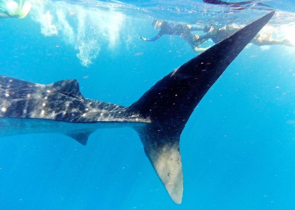Underwater Photography View From Below Water Scuba Diving Ocean Whale Shark Shark Diving
