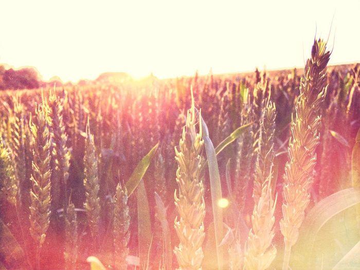 """""""Golden Fields"""" Wheat Field Filter Art Instagram"""