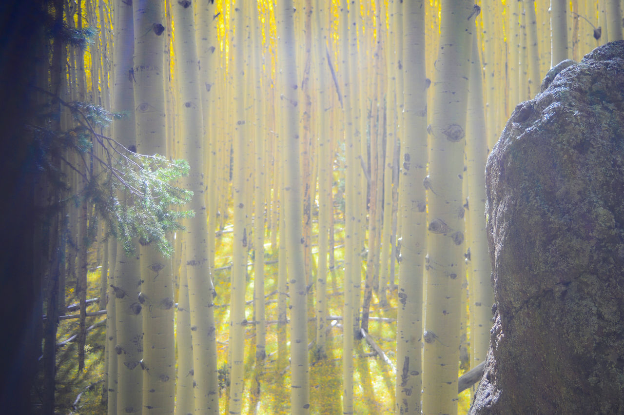 Through the Aspen Forest Scenics Yellow WoodLand Nature Beauty In Nature Non-urban Scene No People Plant Tree Trunk Tranquility Outdoor Photography Nature Photography Arizona My Favorite Place