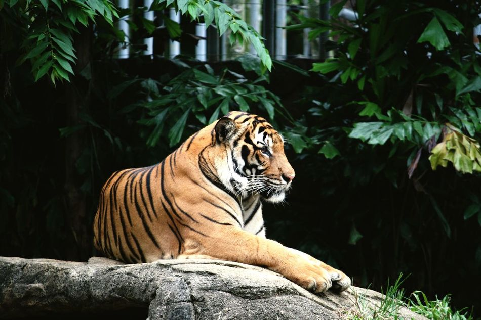 Tiger Malayantiger First Eyeem Photo