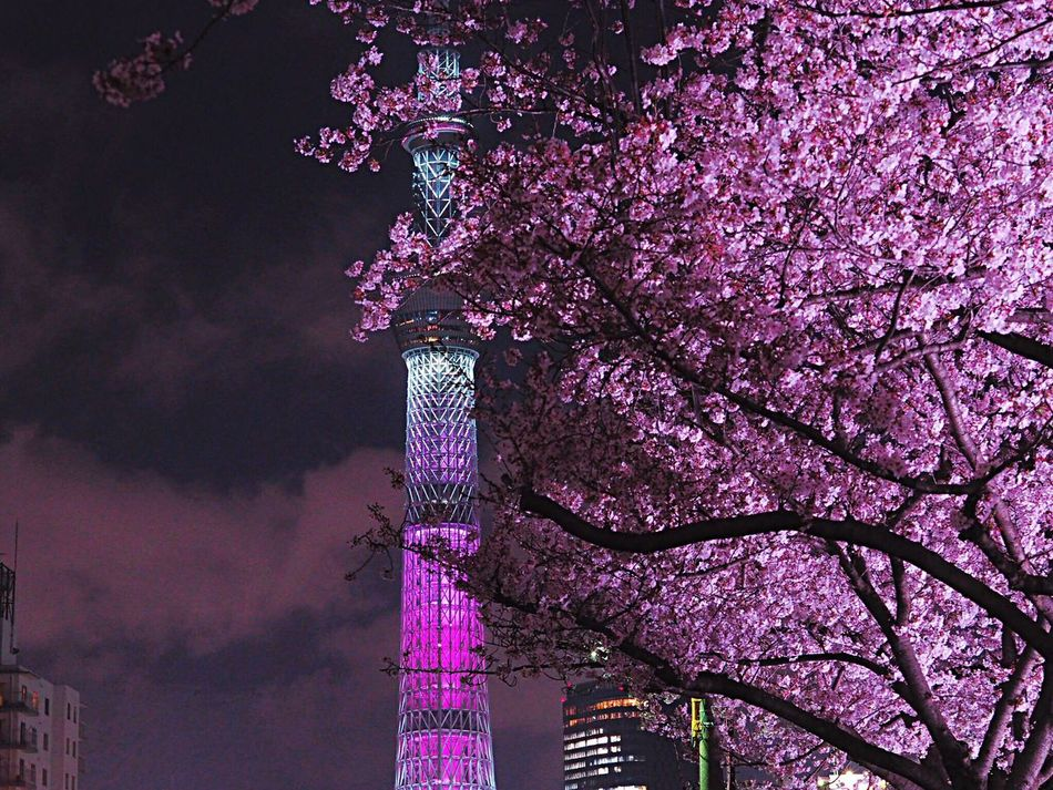 https://youtu.be/OTFFQkdhw6Q Tree Pink Color Nature Beauty In Nature Architecture Built Structure Flower Growth Cherry Blossom Cherry Tree Sakura 桜 Springtime Blooming Tokyoskytree Skytree 東京スカイツリー Nightphotography Night Lights Japanese Landscape Japanese Photography Blossom Tokyo,Japan City Life Olympus Om-d E-m10