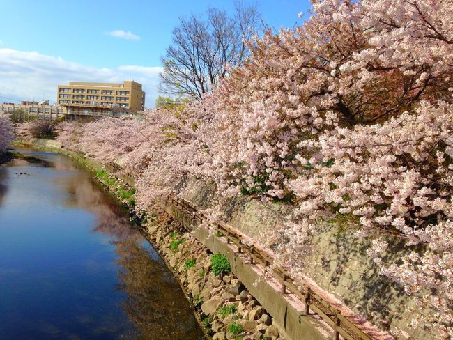 Cool Japan Spring Cherryblossom Walking Around Japanese Culture Pink Flowers 桜