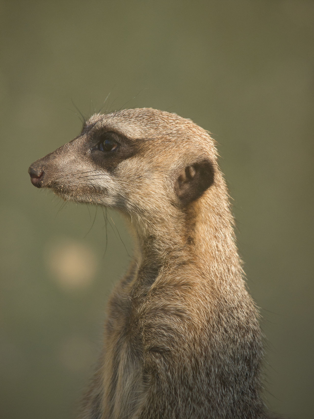 Alertness Animal Body Part Animal Head  Animal Themes Animal Wildlife Animals In The Wild Close-up Cute And Funny An Look Up And Thrive Mammal Meerkat Nature No People On The Watch One Animal Surikat Zoo