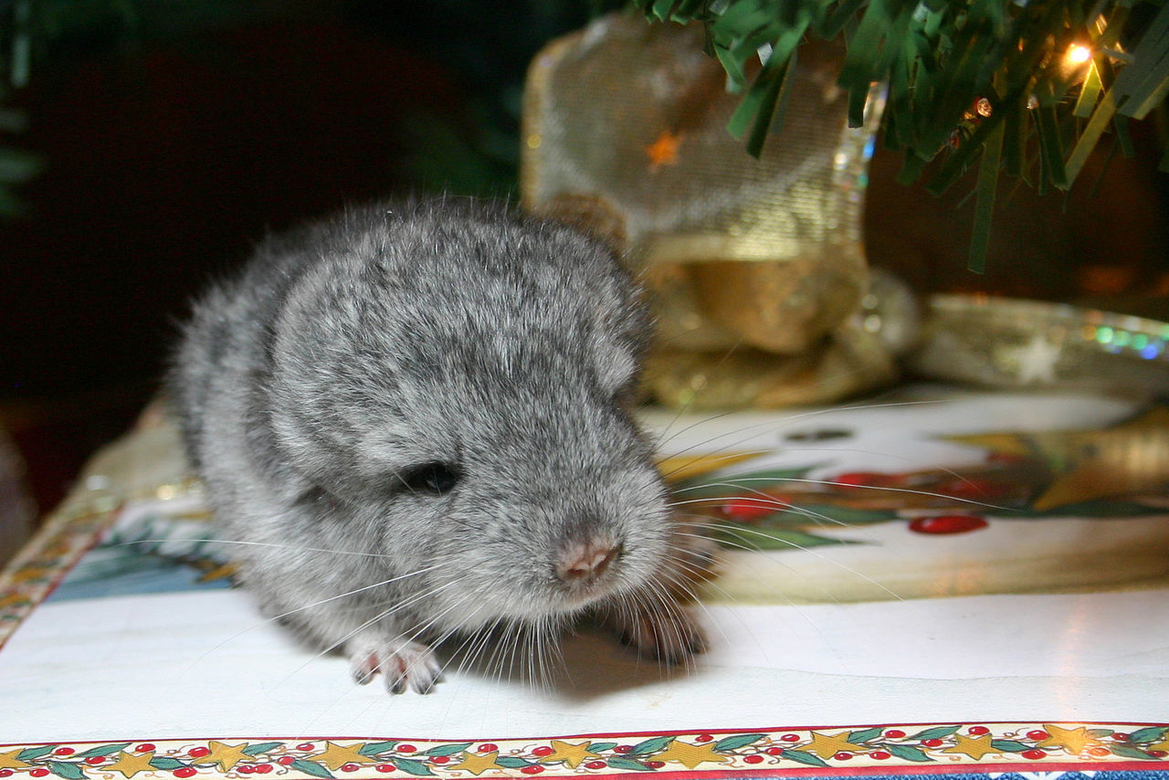 Alertness Animal Animal Themes Baby Chinchilla Chinchilla Chinchilla And Christma Chinchillalove Close-up Cute Mammal One Animal Pets Christmas