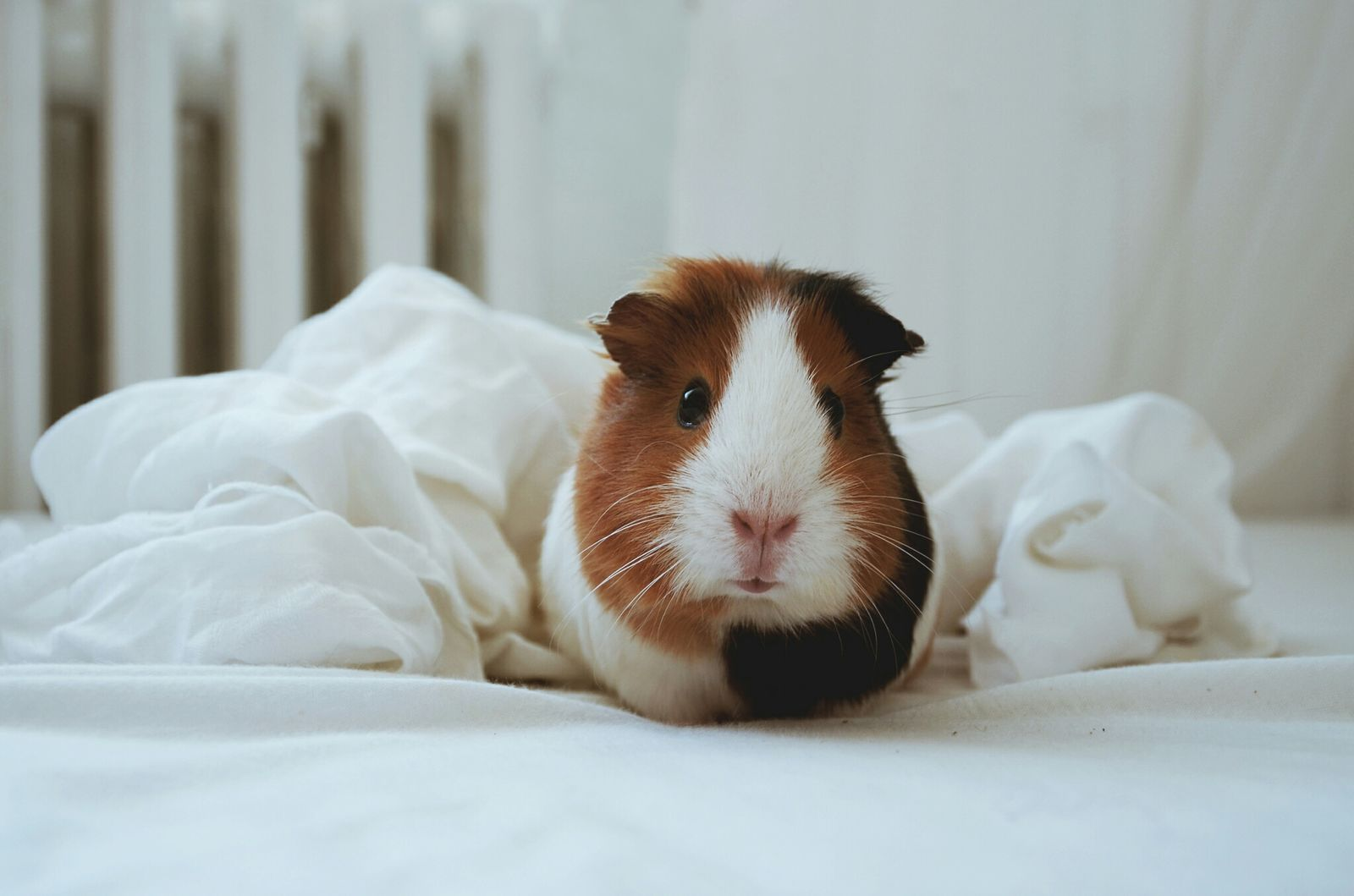 She's so old but looks so young Eat Veggie Guinea Pig