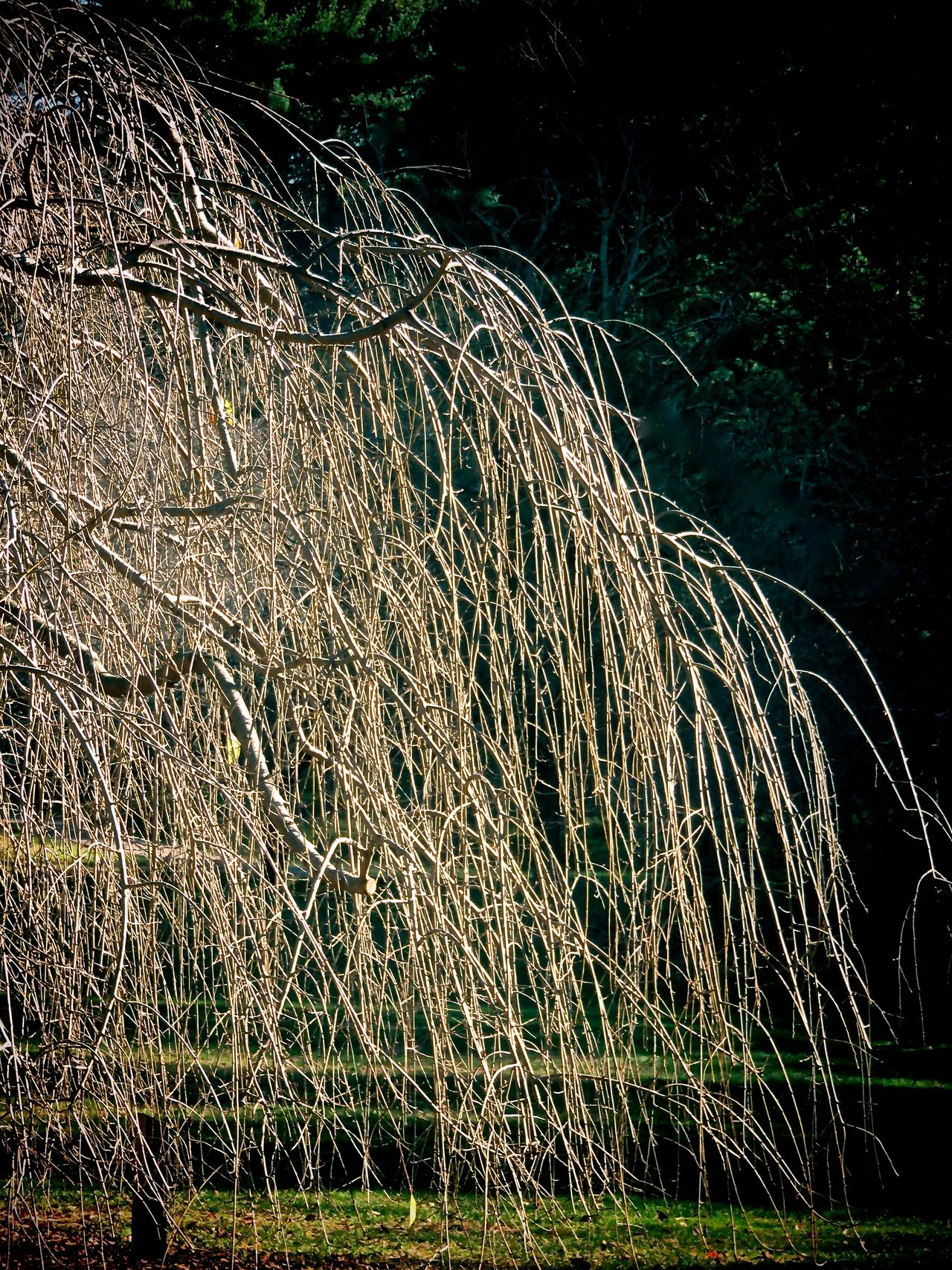 Bare Tree Weeping Willow November Tree Branches Cascade Tree Tree Lover EyeEm Nature Lover