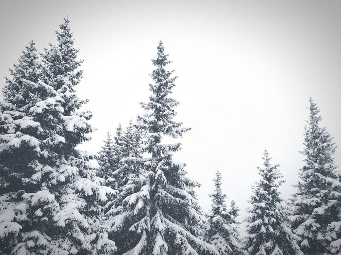Snow White Backgrounds Wood Mountain Tree Pinaceae Pine Tree Forest Nature No People Day Fir Tree Sky Outdoors