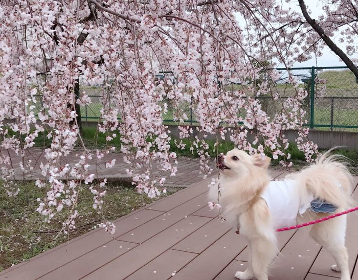 Cherry Blossoms Domestic Animals Flower Pets Blossom Japaneseflower Cherry Blossom Animal Themes 日本 桜 Cherryblossom Spring Aichi Japan 犬 Pomeranian Dog Pomeranian Love Pomeranian ポメラニアン Pomeranianlove サクラ Rico 春 Dog One Animal