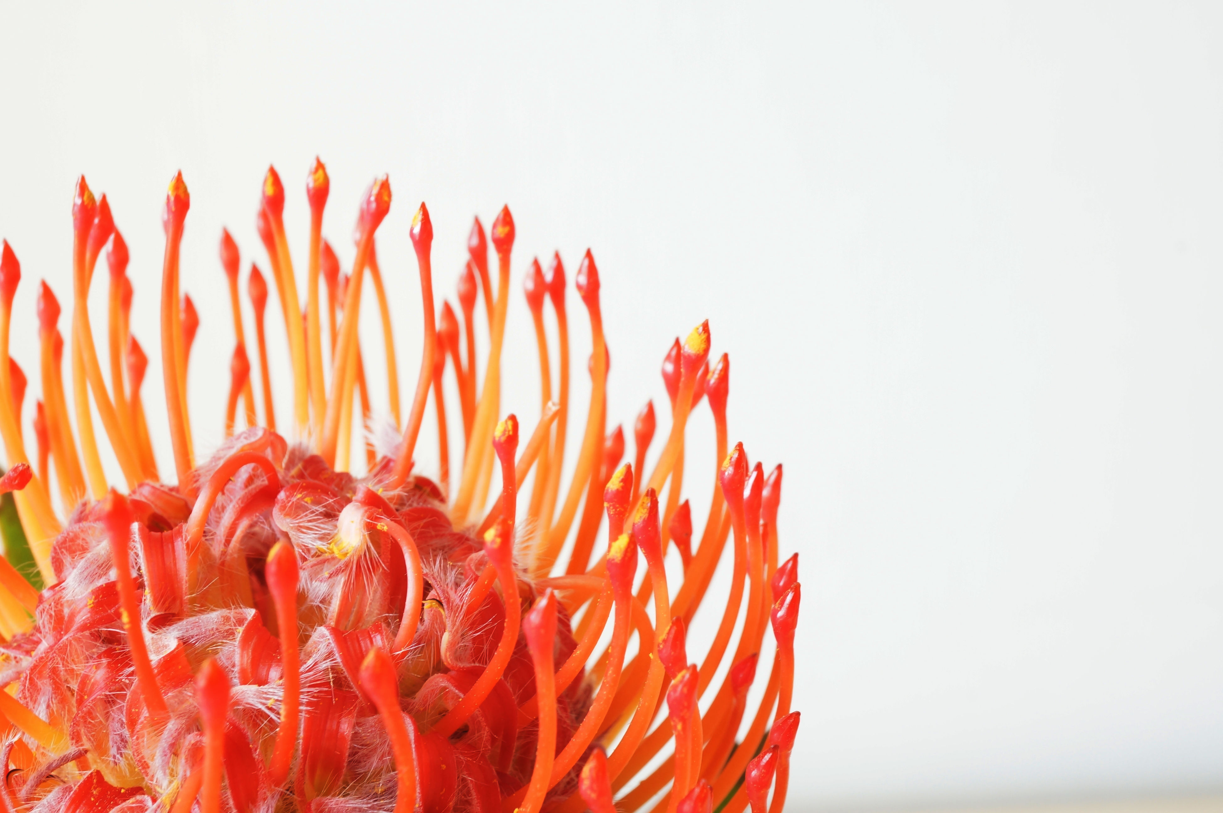 flower, petal, flower head, freshness, fragility, close-up, studio shot, red, single flower, beauty in nature, white background, growth, copy space, nature, clear sky, plant, pollen, blooming, no people, focus on foreground