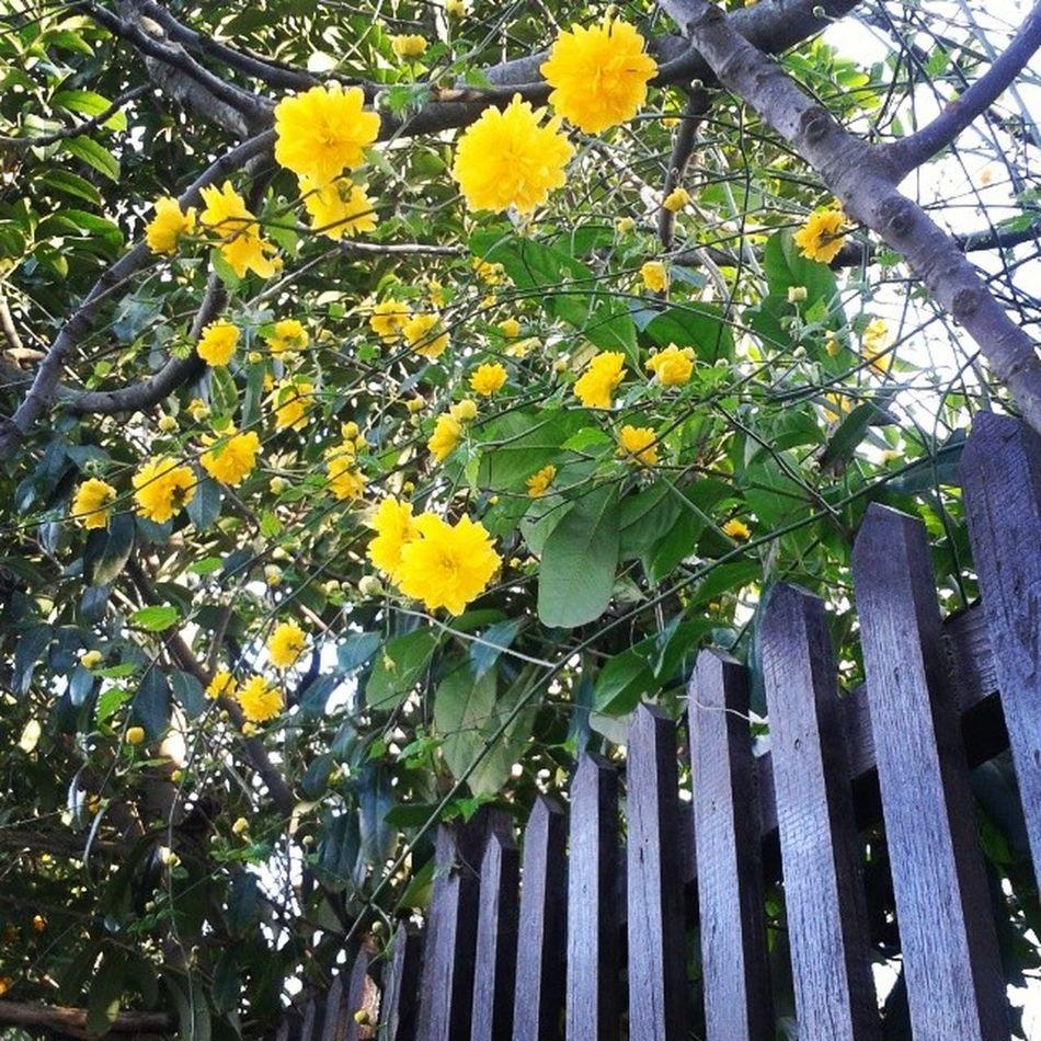Yellowflowers Yellowtree Adampol Polonezkoy turkey
