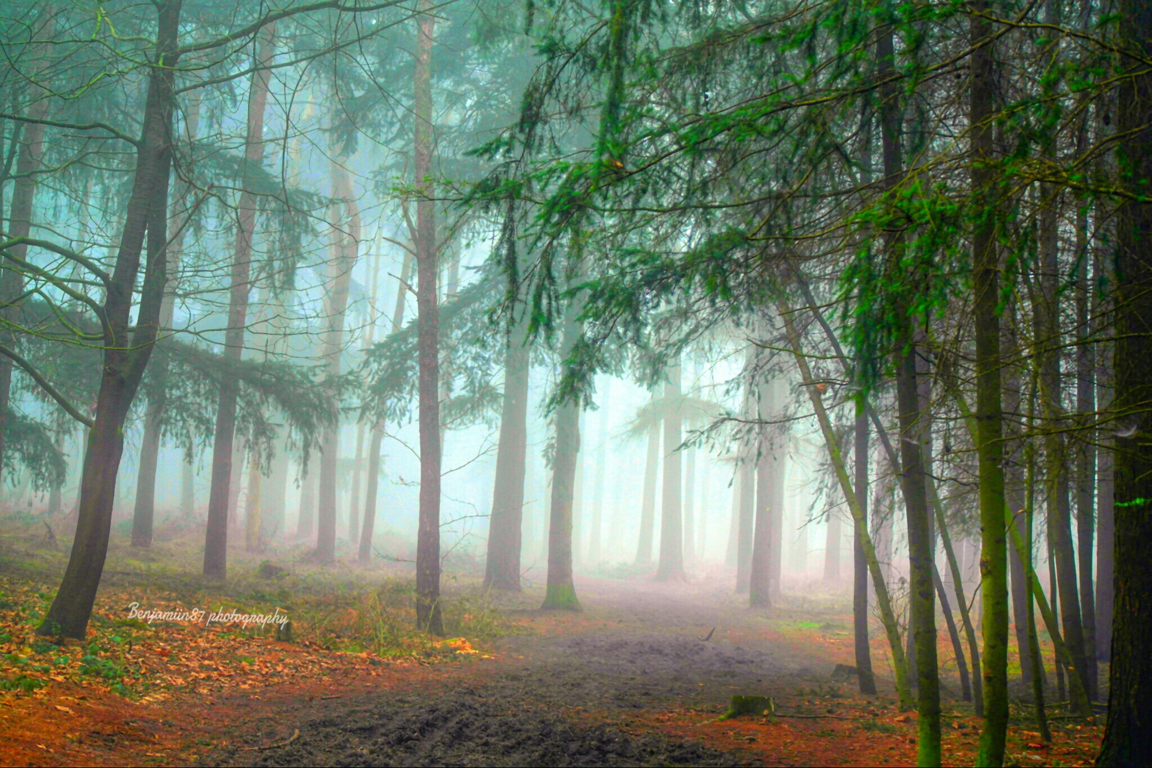 tree, forest, woodland, tranquility, tree trunk, tranquil scene, nature, growth, beauty in nature, scenics, non-urban scene, landscape, fog, idyllic, outdoors, woods, sunlight, branch, day, remote