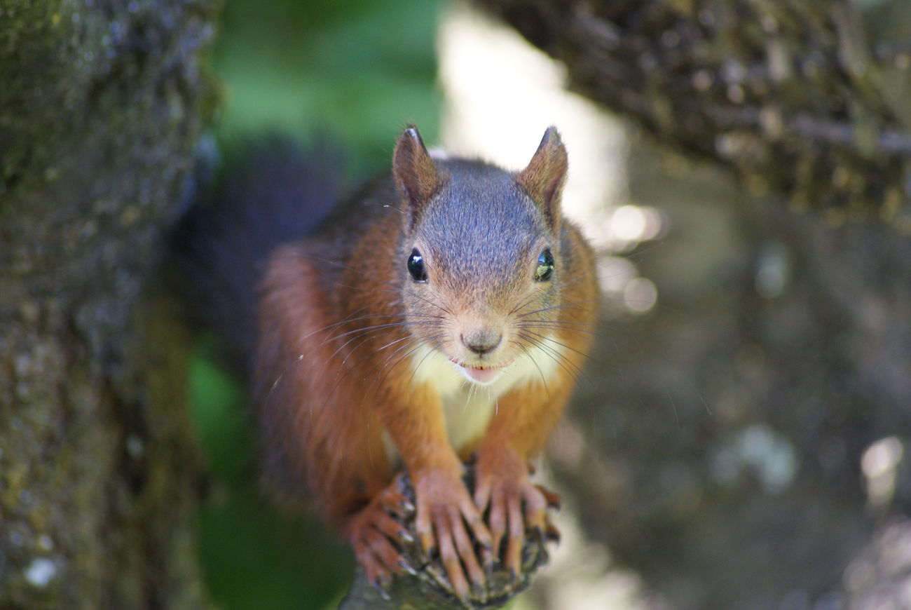 Animal Themes Animal Wildlife Animals In The Wild Ardilla Close-up Day Forest Mammal Nature No People One Animal Outdoors Portrait Scoiattolo Squirrel Squirrel Closeup Squirrel Photo Squirrel! Squirrels Squirrelsofinstagram écureuil