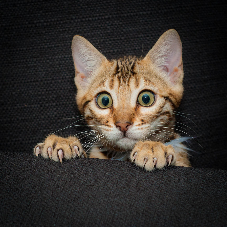 Beautiful stock photos of baby katzen, Animal Themes, Bengal Cat, Couch, Domestic Animals