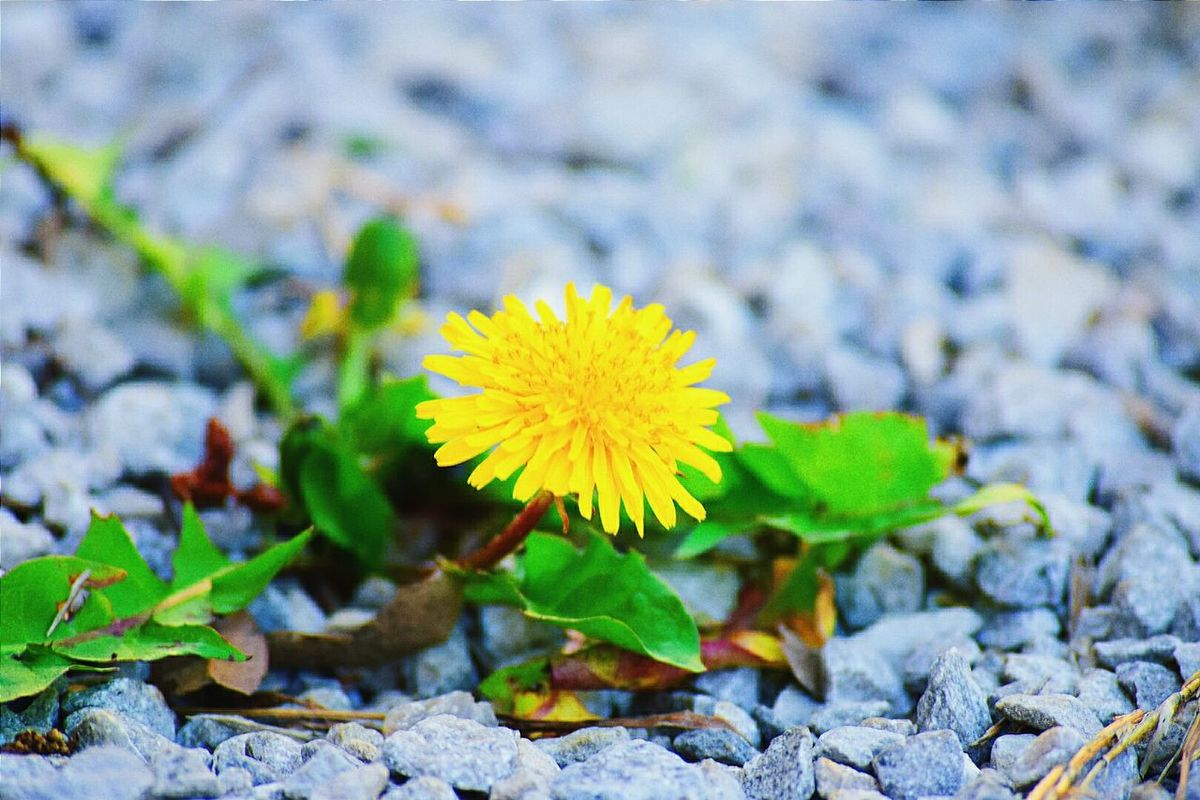 THIS SHOWS THE DETERMINATION OF LIFE! THIS LITTLE FLOWER WAS DETERMINED TO GROW, EVEN THROUGH ROCKS! EyeEm Best Shots Beauty In Nature Nature Nature Photography Outdoors Outdoor Photography Showcase April Macro Photography Macro Plants Yellow Flowers Flowers Blooms Yellow Dandellion