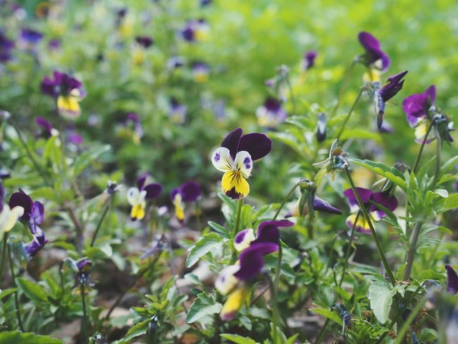 Such a beautiful and happy flower. Pansies Flowers Floral Herb Garden Edibleflowers Garden Nature