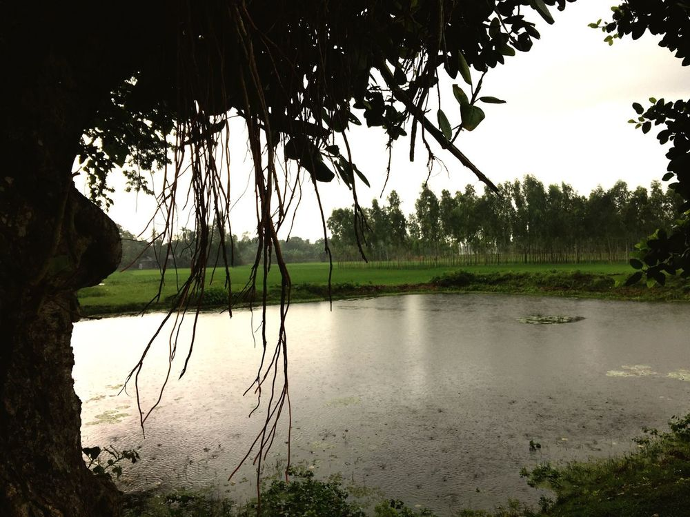 Under a banyan tree Rainy Day Treescape Paddy Field Green Fields Rainy Season Banyan Tree Nature Pond 1st EyeEm Picture