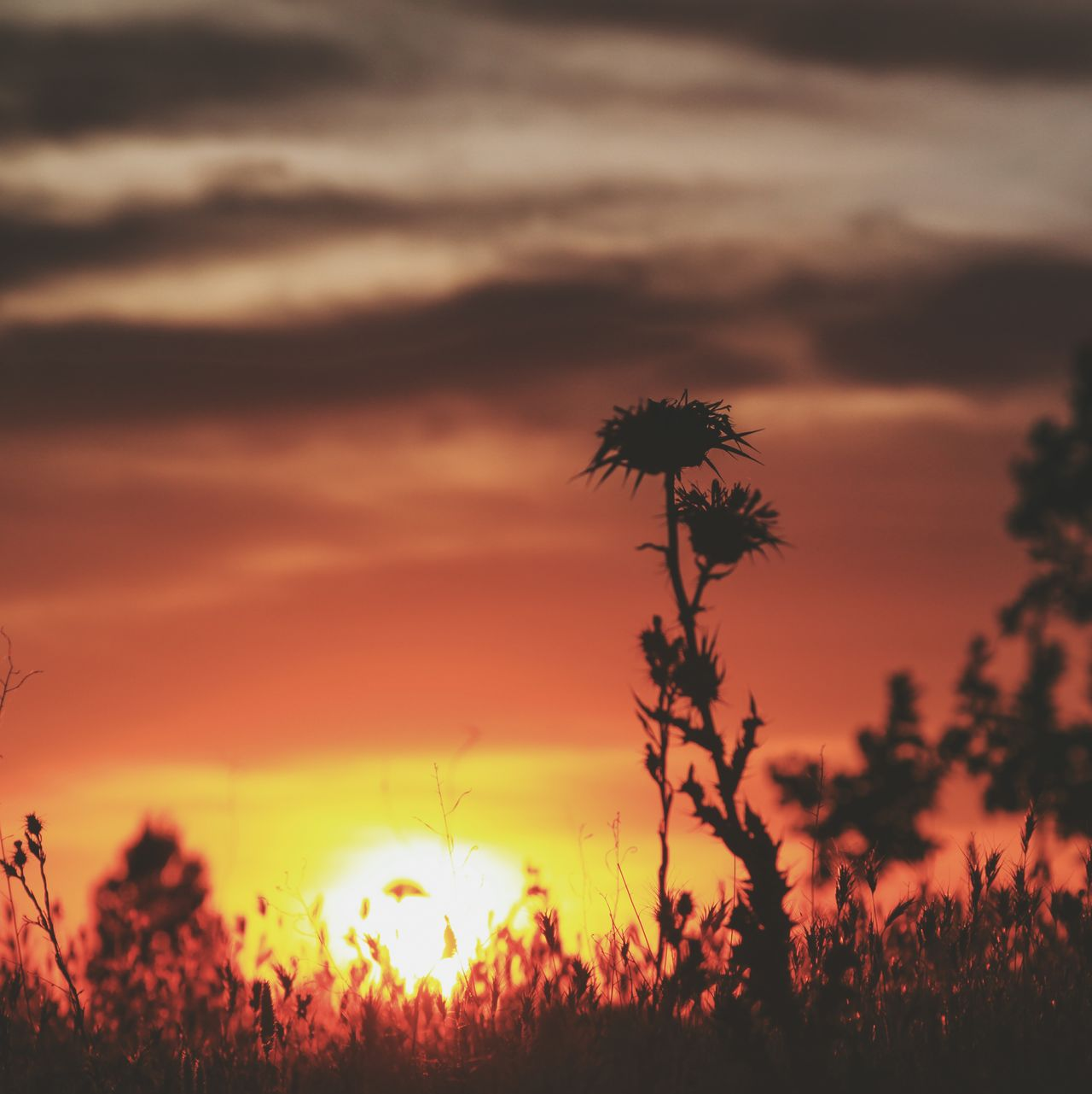Sunset Nature Dramatic Sky Scenics Cloud - Sky Beauty In Nature Landscape Tranquil Scene Silhouette Outdoors Plant Sky No People Rural Scene Tranquility Eyeemphotography Check This Out EyeEm Gallery The Outdoors 2017 EyeEm Awards Close-up Cardo Dried Plant Madrid Spain Madrid The Great Outdoors - 2017 EyeEm Awards