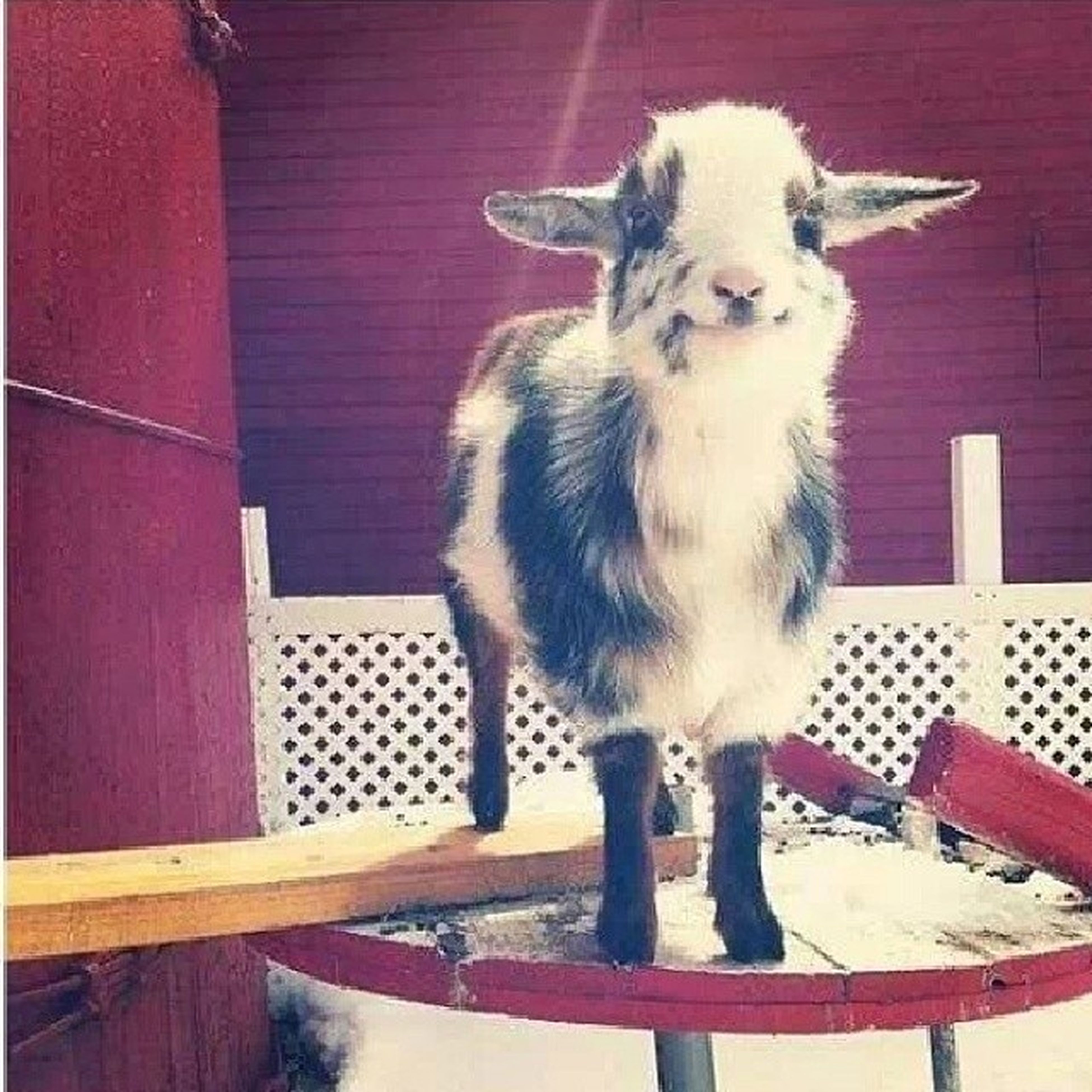 This cute little goat makes me smile. Adorable IWant FuturePet JustWannaPokeIt cute