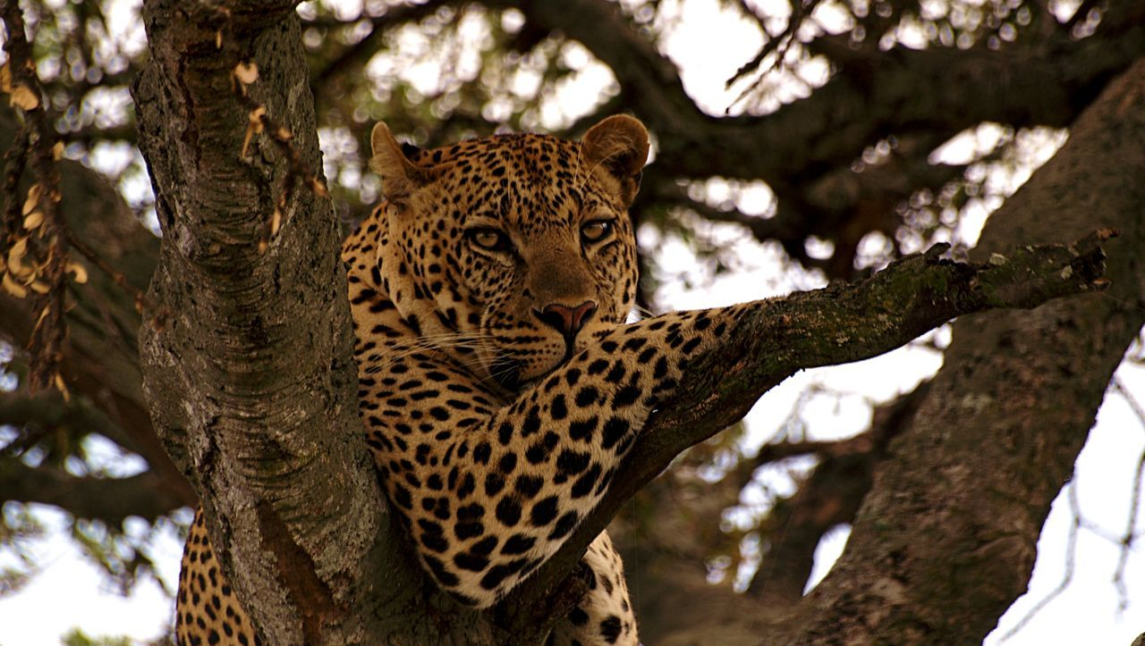 Beautiful Wildlife & Nature EyeEm Nature Lover Catsofinstagram Wildlife Beautiful Photographystudent Rookie Photographer TembeaKenya Maasai Mara Leopard