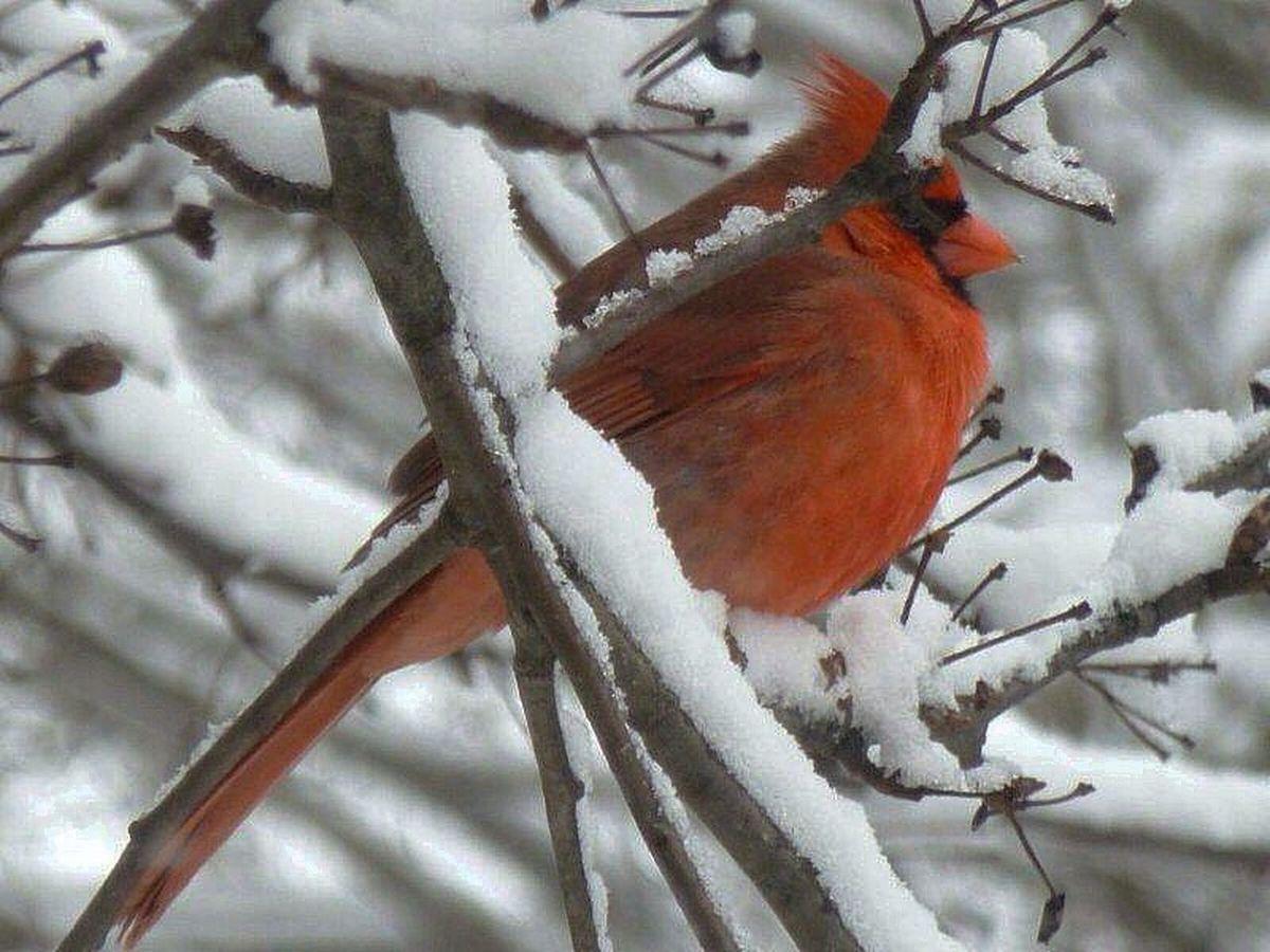 Cardinal Birds And Branches Snow Winter Bird Watching Wildlife & Nature Winter Birds