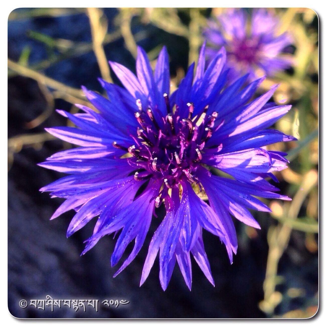 Bunga بوڠا Petang Ini ڤتـــــڠ اين Berbasikal برباسيكـــــل
