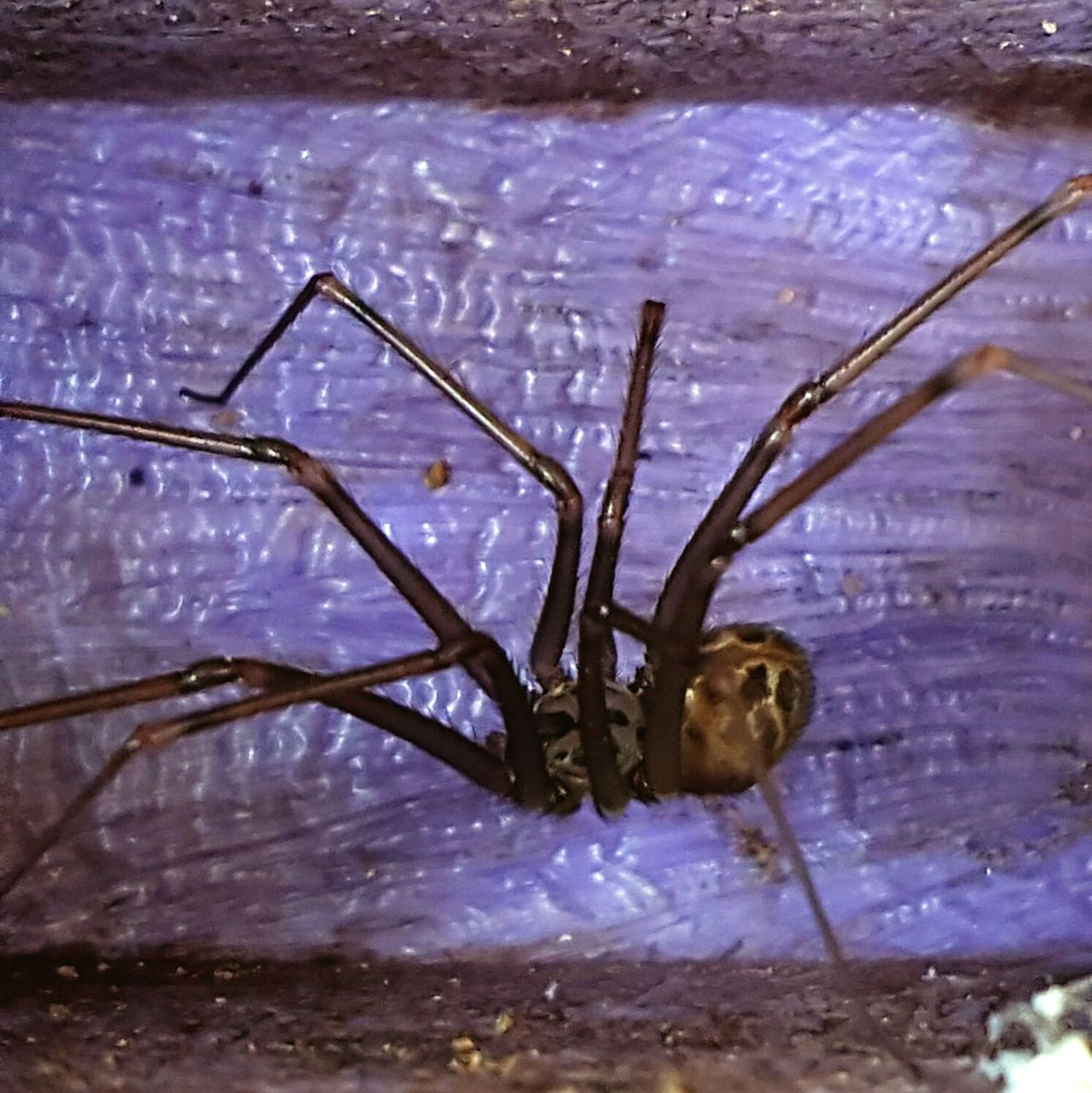 Cellar Spider Nature Outdoors Close-up One Animal No People Bug Insect Nature