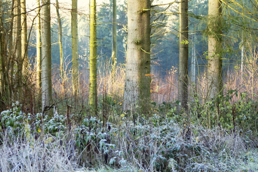 winter in the woods sun is rising Frost Frozen Hoarfrost Light Nature Nature Photography Winter Day Fir Trees Forest Growth Land Nature Naturelovers New Life No People Non-urban Scene Outdoors Plant Plant Part Sunrise Tree Tree Trunk Wilderness Area WoodLand Woods