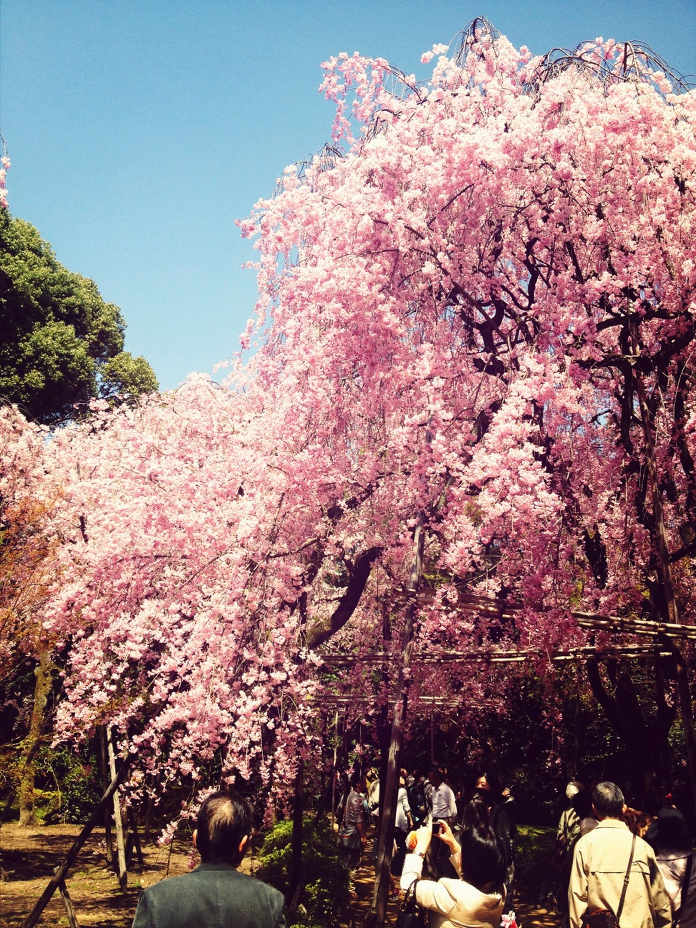 flower, tree, cherry tree, cherry blossom, growth, clear sky, branch, beauty in nature, freshness, nature, pink color, fragility, blossom, low angle view, blooming, sky, springtime, in bloom, sunlight, day