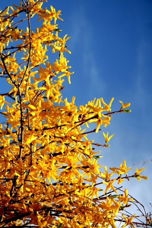 Yellow Blossoms on Branch Autumn Beauty In Nature Blue Branch Clear Sky Close-up Growth Leaf Low Angle View Nature Plant Tree Yellow