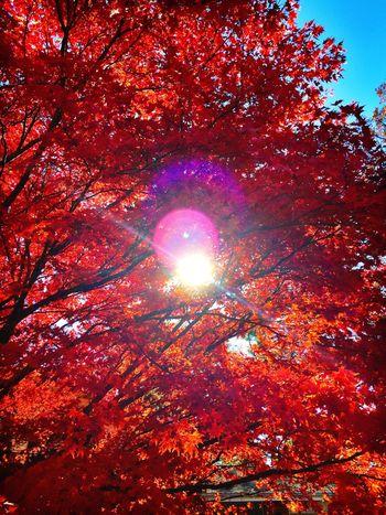 Autumn Vibrant Red Trees And Sky EyeEm Nature Lover God's Beauty Brilliant Colour Sunspots Sunrays