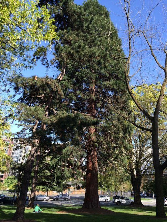 Big Green Tree Urban Park The Purist (no Edit, No Filter)