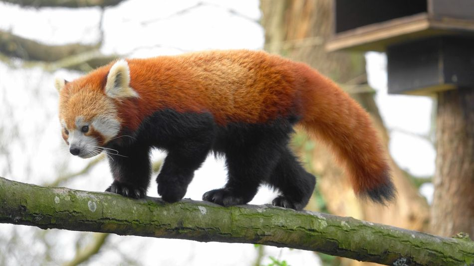 Animal Themes Red Panda One Animal Focus On Foreground Animals In The Wild Tree Mammal No People Day Outdoors Beauty In Nature Nature Tree Sky